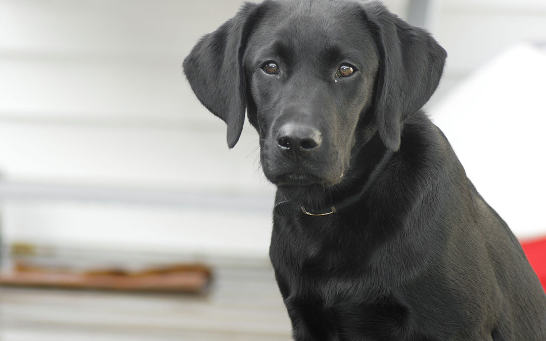 What makes the Labrador Retriever the #1 breed?