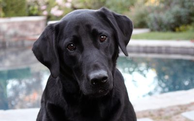 How do you pick a Labrador Retriever rescue organization?